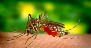 Mosquito que transmite a dengue